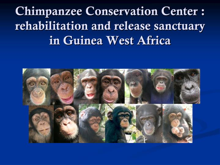 Chimpanzee conservation center rehabilitation and release sanctuary in guinea west africa