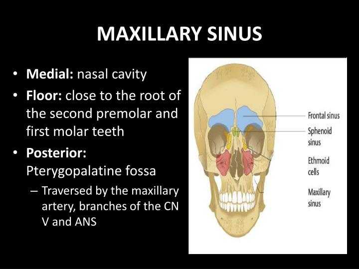 PPT - PARANASAL SINUSES Anatomy, Physiology and Diseases PowerPoint ...