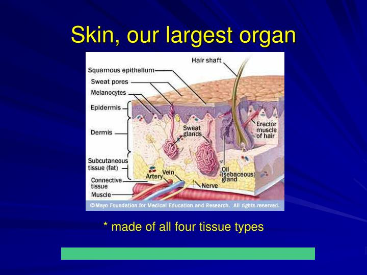 Skin, our largest organ