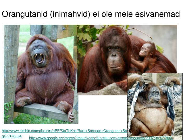 Orangutanid (inimahvid) ei ole meie esivanemad