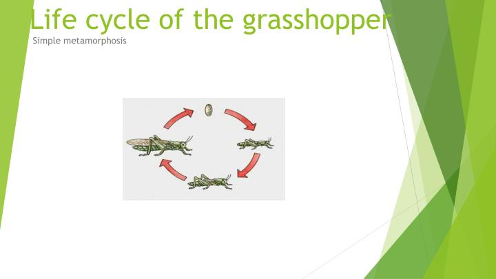 life cycle of the grasshopper n.