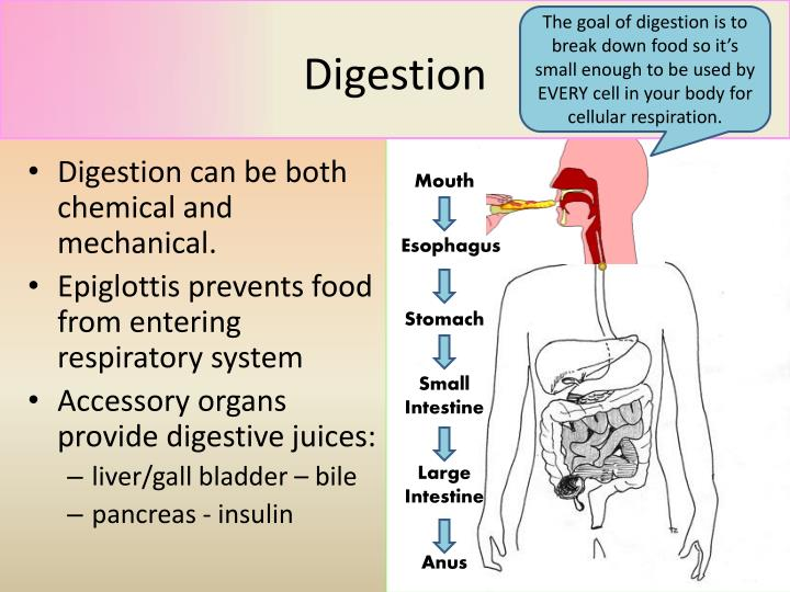 The goal of digestion is to break down food so it's small enough to be used by EVERY cell in your body for cellular respiration.