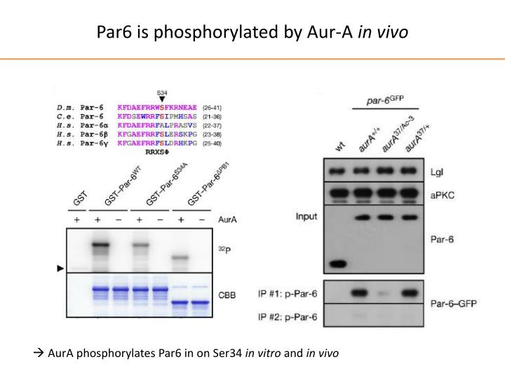 Par6 is phosphorylated by Aur-A