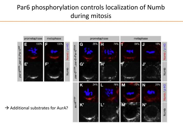 Par6 phosphorylation controls localization of Numb during mitosis