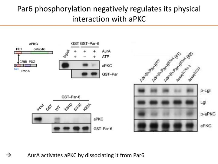 Par6 phosphorylation negatively regulates its physical interaction with aPKC