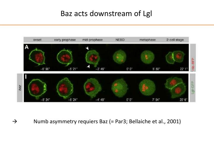 Baz acts downstream of Lgl