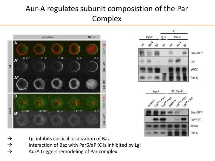 Aur-A regulates subunit composistion of the Par Complex