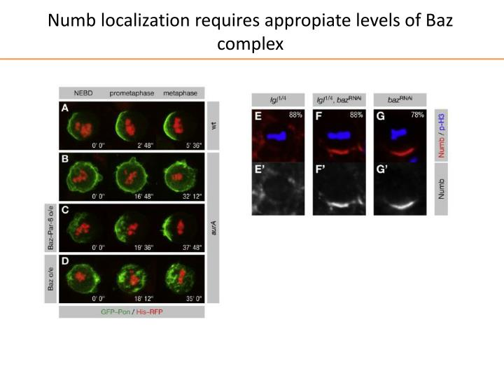 Numb localization requires appropiate levels of Baz complex