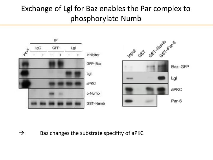 Exchange of Lgl for Baz enables the Par complex to phosphorylate Numb