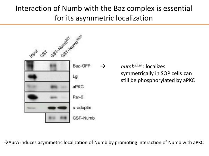 Interaction of Numb with the Baz complex is essential for its asymmetric localization