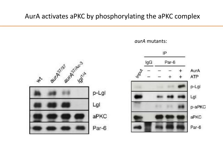 AurA activates aPKC by phosphorylating