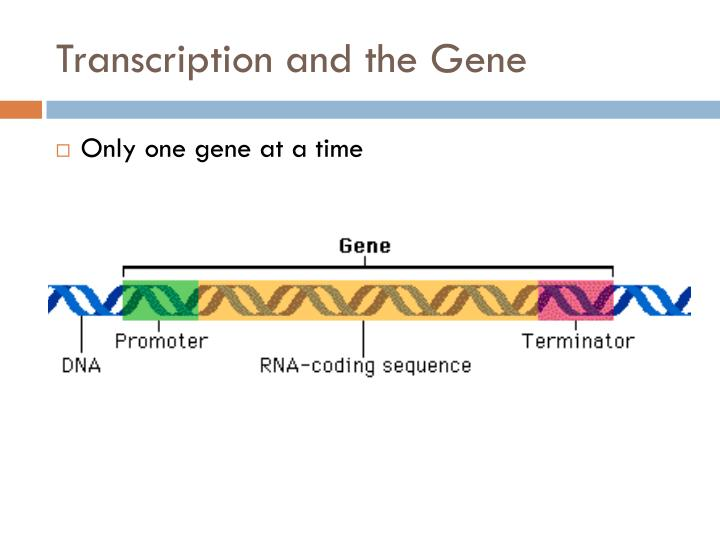 Transcription and the Gene