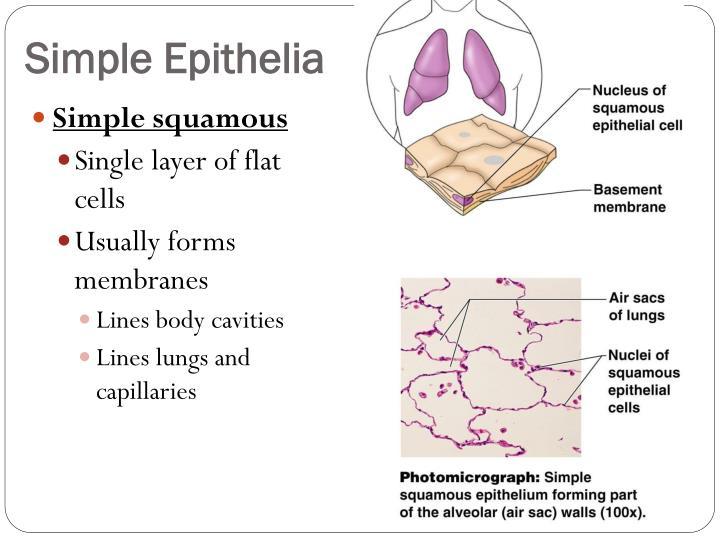 Simple Epithelia