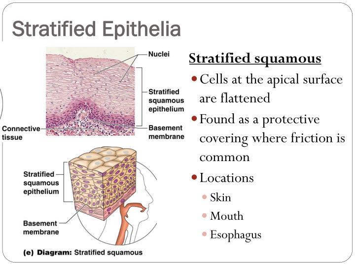 Stratified Epithelia