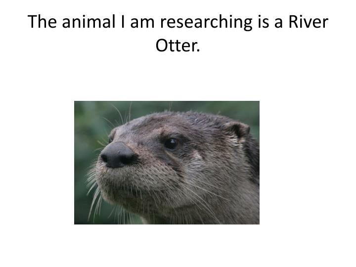 The animal i am researching is a river otter