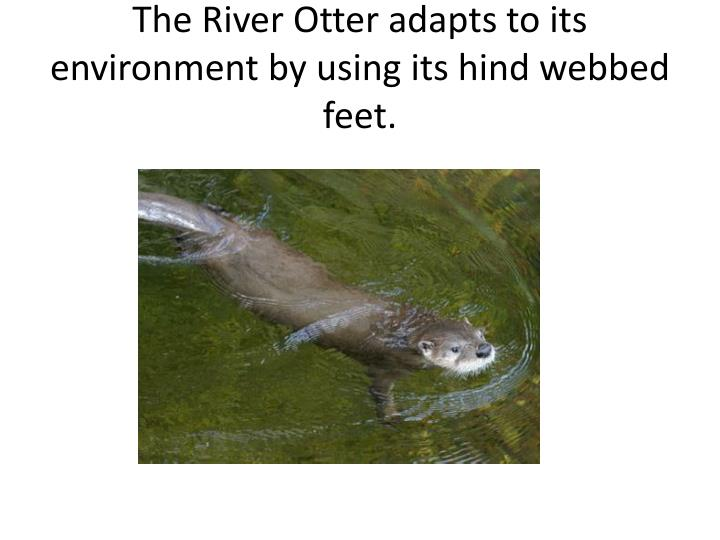 The River Otter adapts to its environment by using its hind webbed feet.