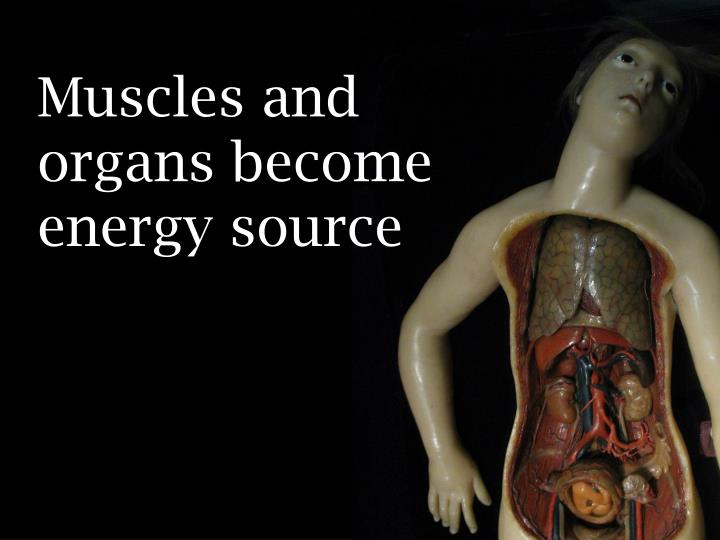 Muscles and organs become energy source