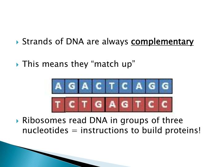 Strands of DNA are always