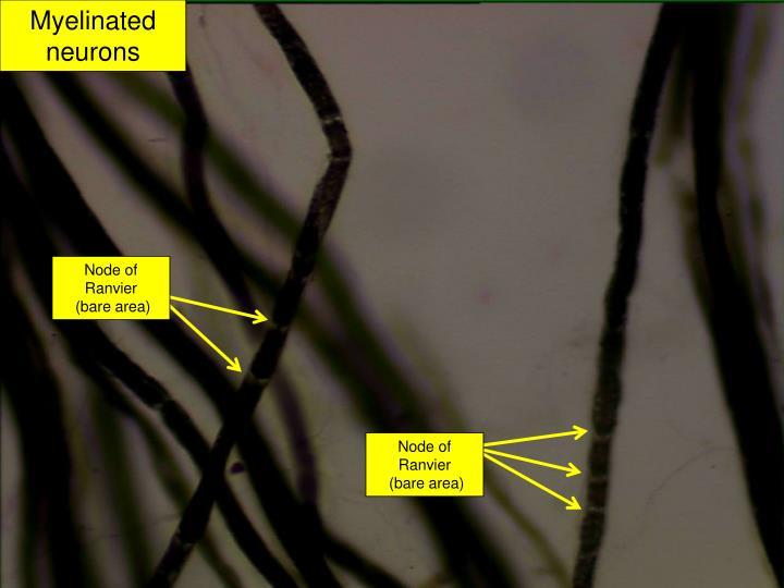 Myelinated neurons