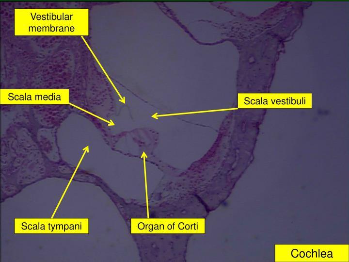 Vestibular membrane