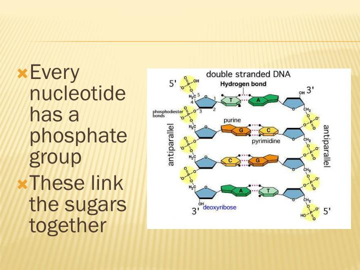Every nucleotide has a phosphate group