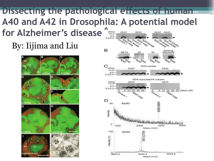Dissecting the pathological effects of human A40 and A42 in Drosophila: A potential model for Alzheimer's disease