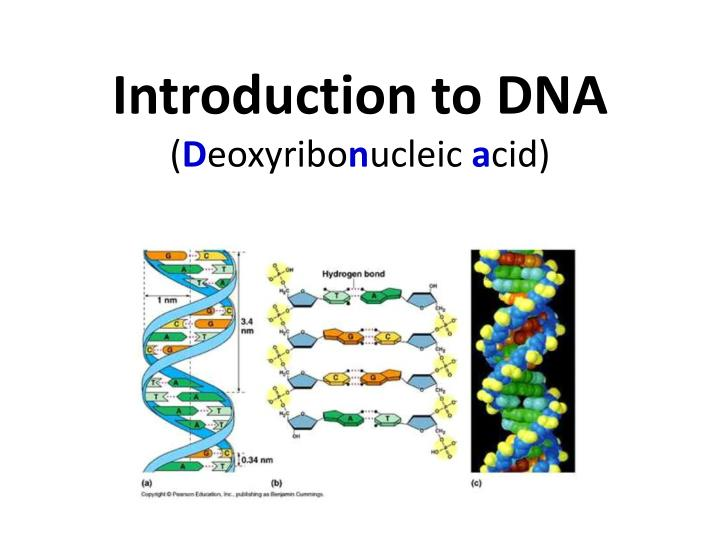 introduction to dna d eoxyribo n ucleic a cid n.