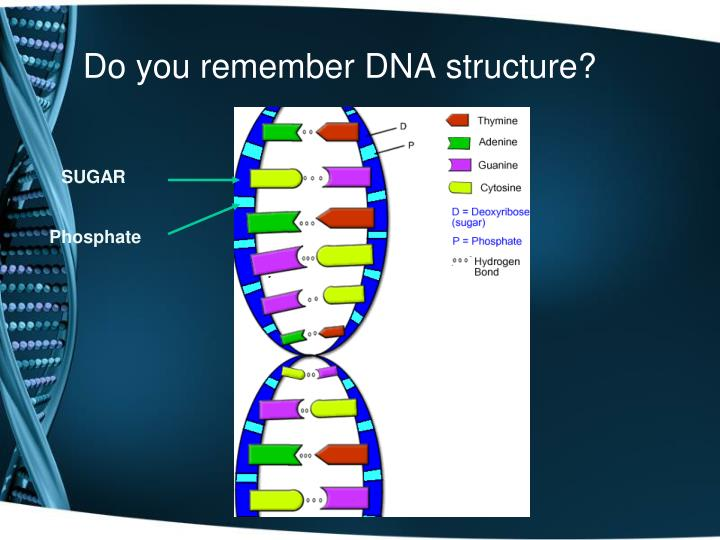 Do you remember DNA structure?