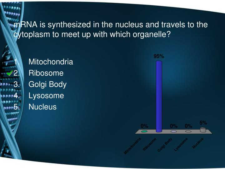 mRNA is synthesized in the nucleus and travels to the cytoplasm to meet up with which organelle?