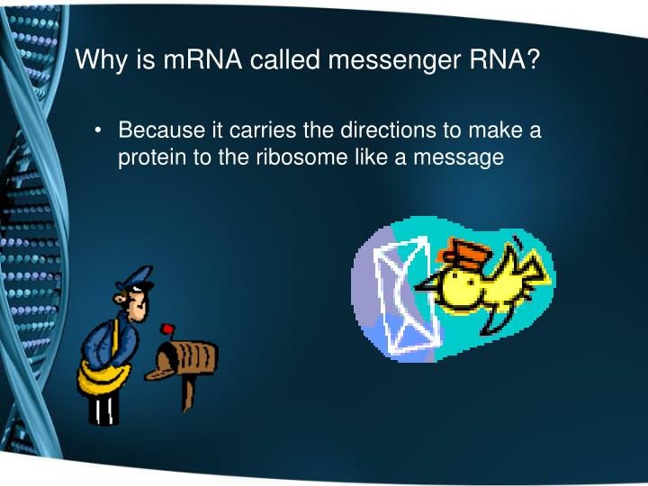 Why is mRNA called messenger RNA?