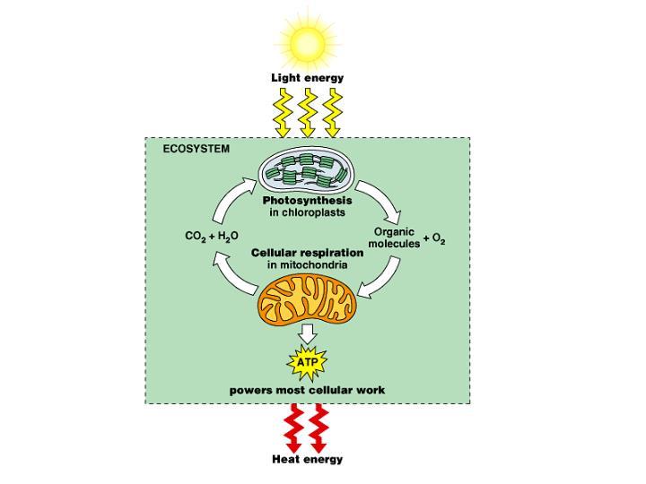 Krebs cycle aerobic and anaerobic cycles