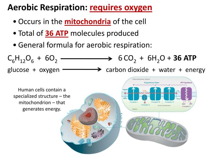 Aerobic Respiration: