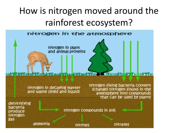 How is nitrogen moved around the rainforest ecosystem?