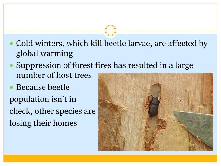 Cold winters, which kill beetle larvae, are affected by global warming