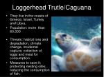 loggerhead trutle caguana