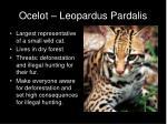 ocelot leopardus pardalis