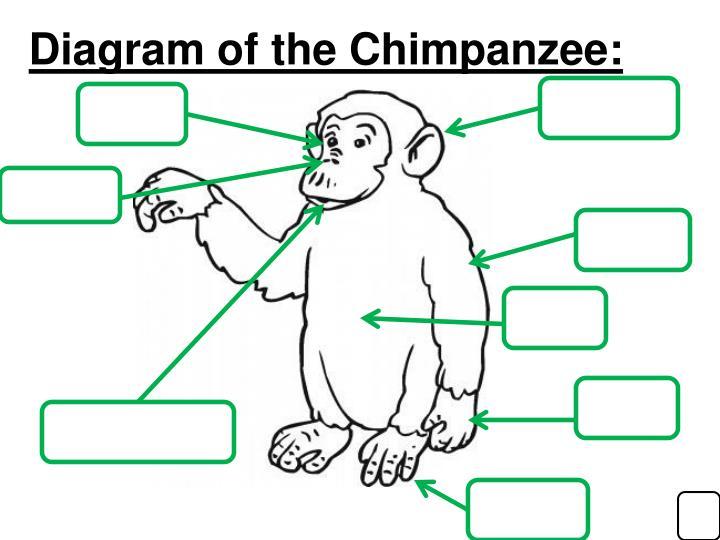 Diagram of the Chimpanzee: