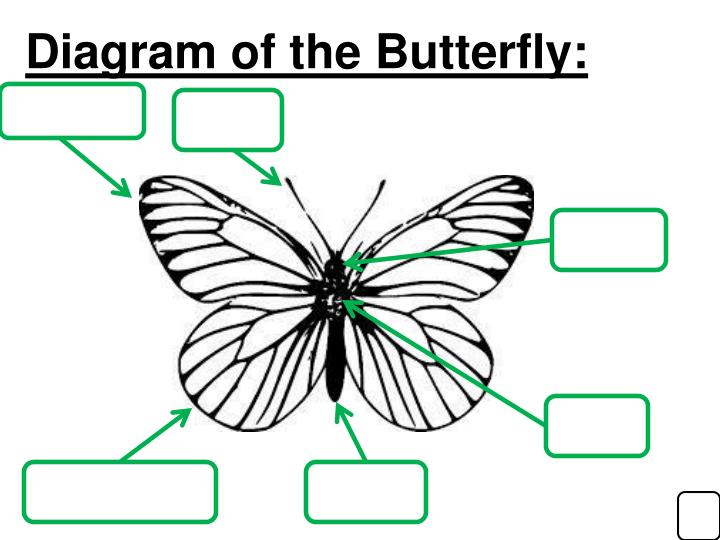 Diagram of the Butterfly:
