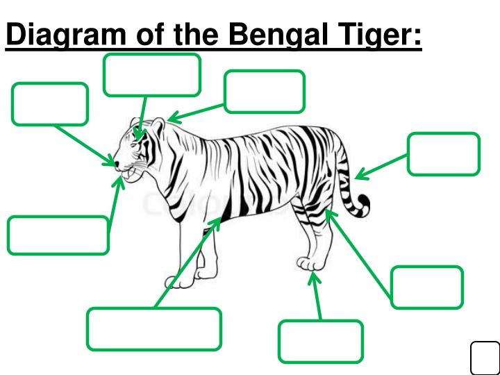 Diagram of the Bengal Tiger: