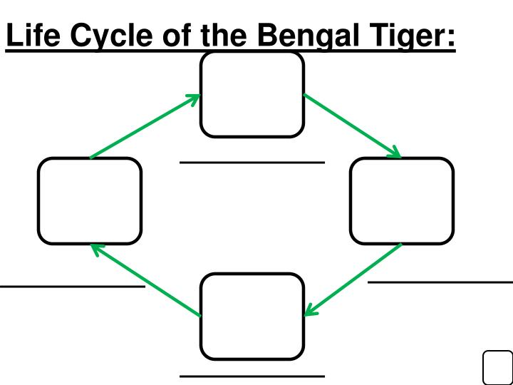 Life Cycle of the Bengal Tiger:
