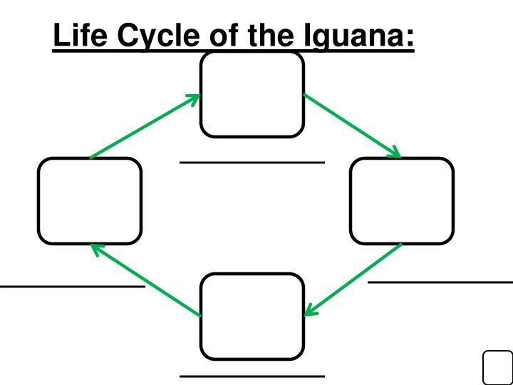 Life Cycle of the Iguana: