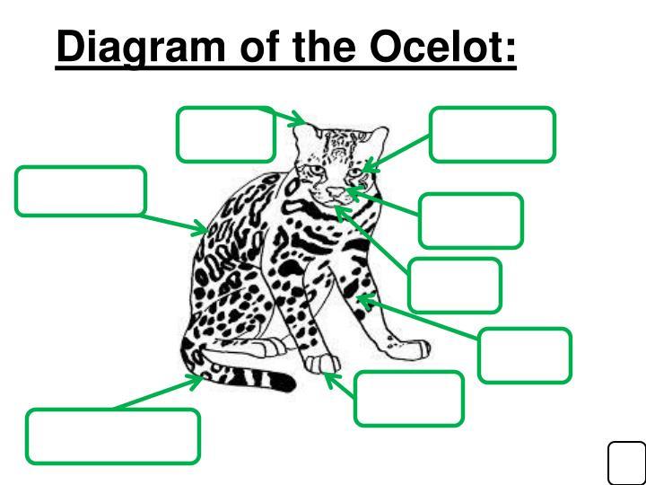 Diagram of the Ocelot: