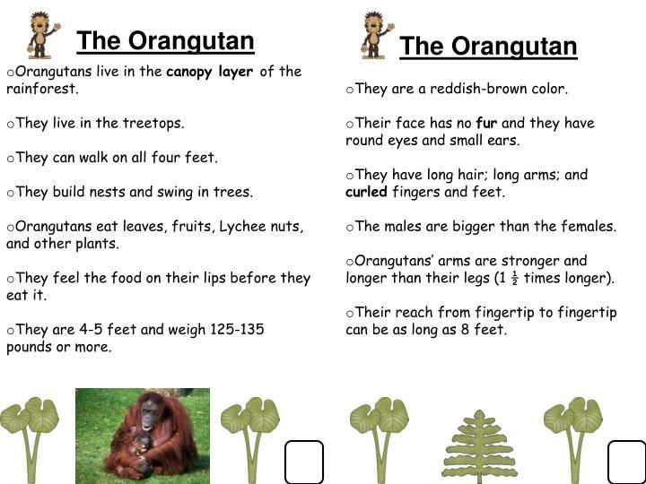 The Orangutan