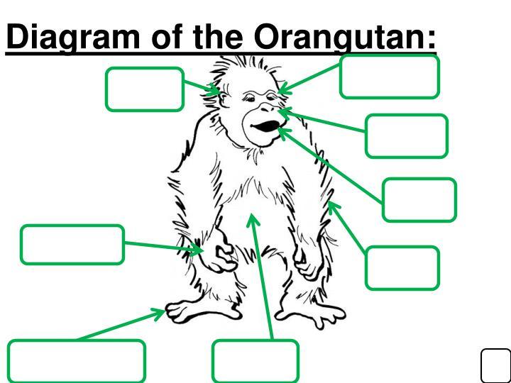 Diagram of the Orangutan: