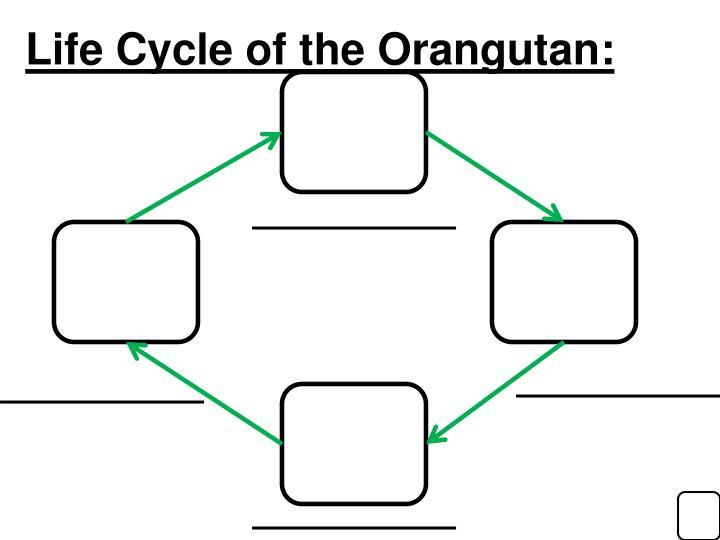Life Cycle of the Orangutan:
