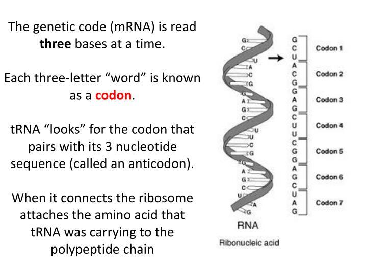 The genetic code (mRNA) is read