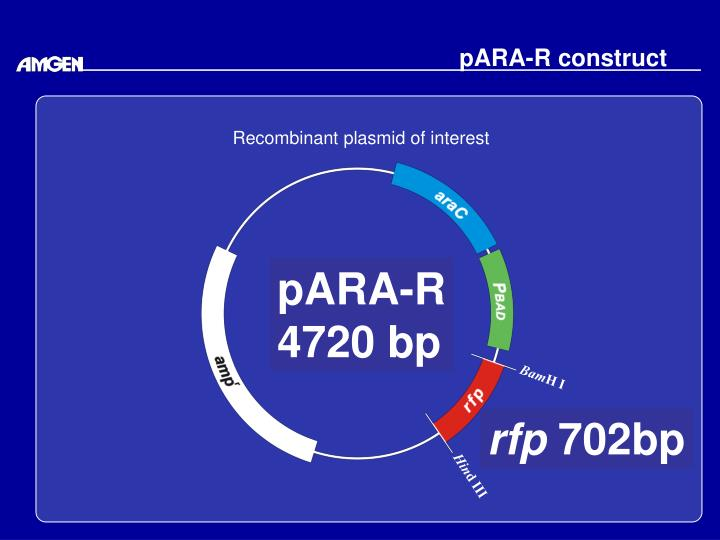PARA-R construct