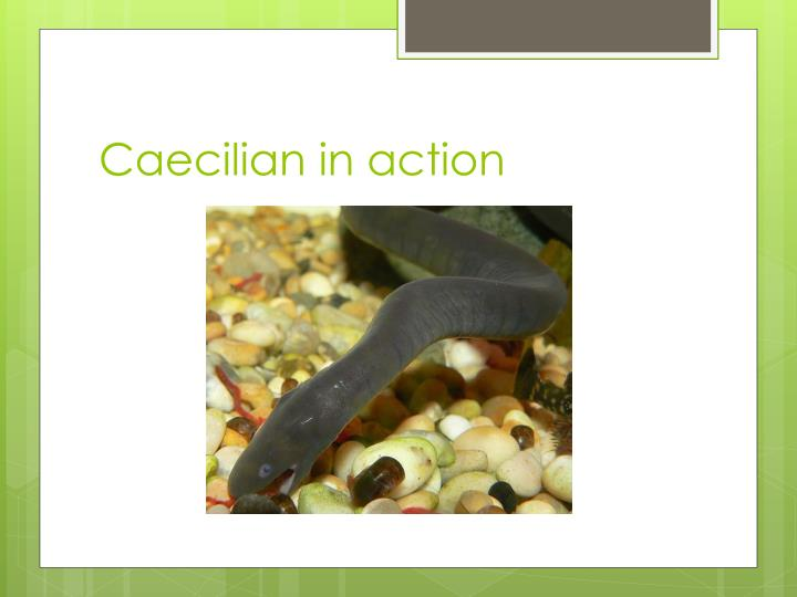 Caecilian in action