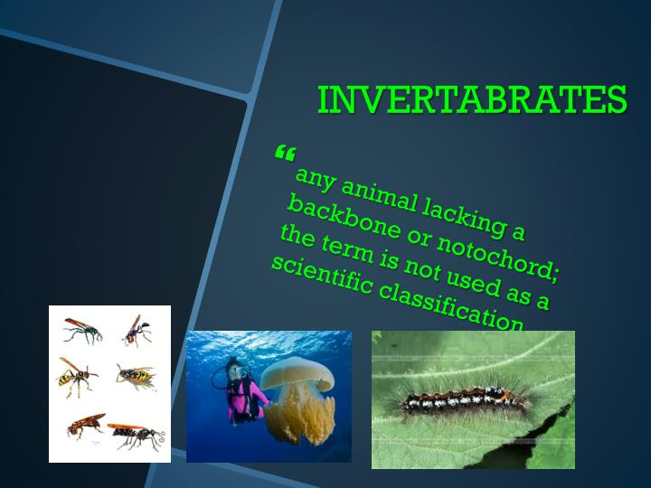 any animal lacking a backbone or notochord; the term is not used as a
