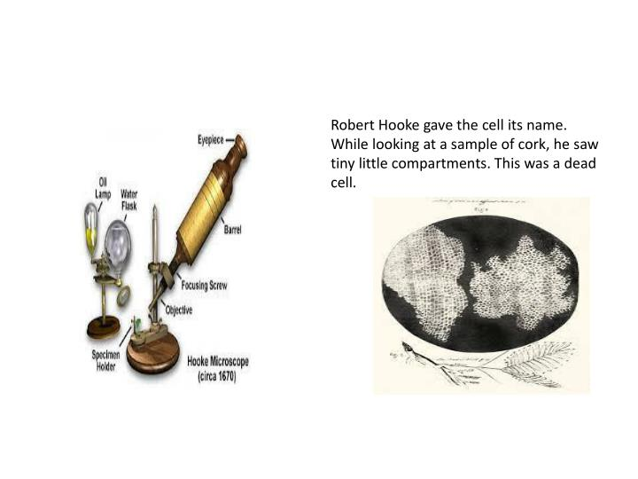 Robert Hooke gave the cell its name. While looking at a sample of cork, he saw tiny little compartments. This was a dead cell.